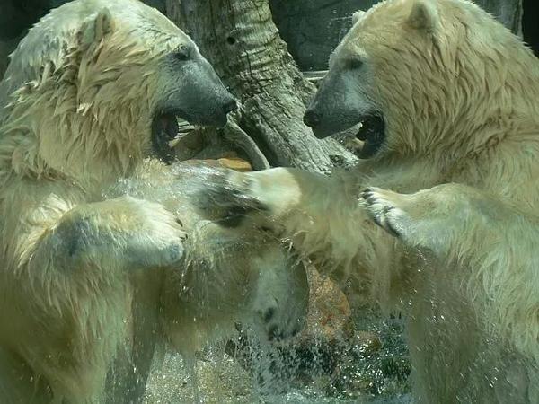 "29.8.14 - From @Kimmaytravel ""The polar bears at SeaWorld #Australia really love to #play #FriFotos"""