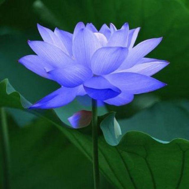 Bowl lotus/water lily flower /Bonsai Lotus seeds /Sapphire Lotus garden decoration plant  10pcs F13