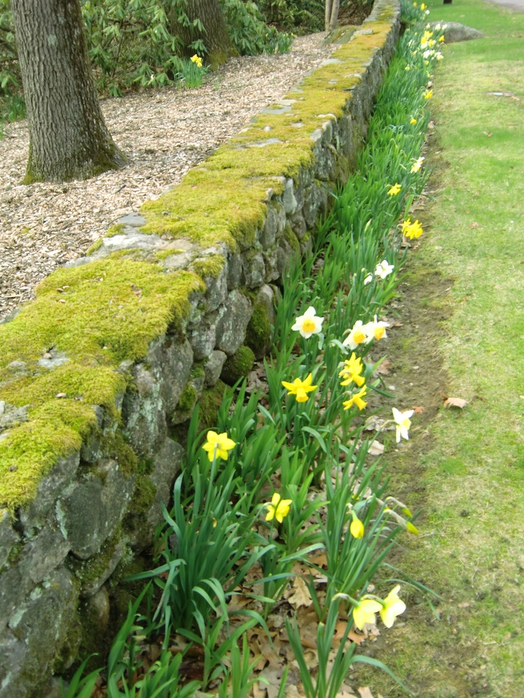 a classic new england stone wall with a nice topping of moss - Vegetable Garden Ideas New England
