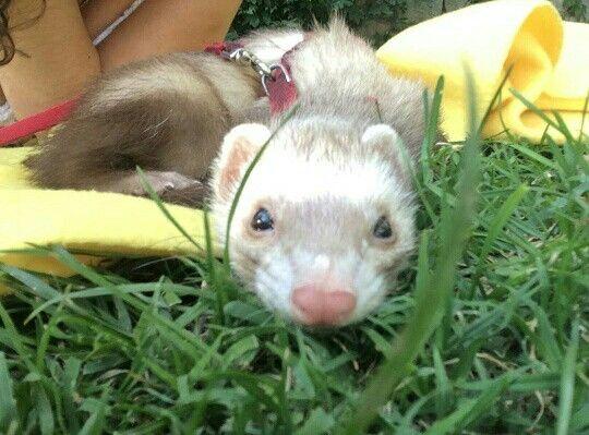 Preciosa 😍❤ #ferret #mascota