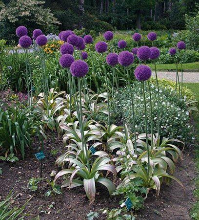 Jättilaukka - Allium giganteum helppo  kesä-heinä yli 100cm sipulikasvi istutetaan syksyllä