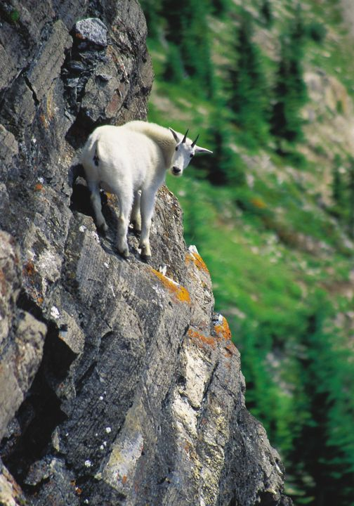 Goat in the Canadian Rockies @backcountrycom