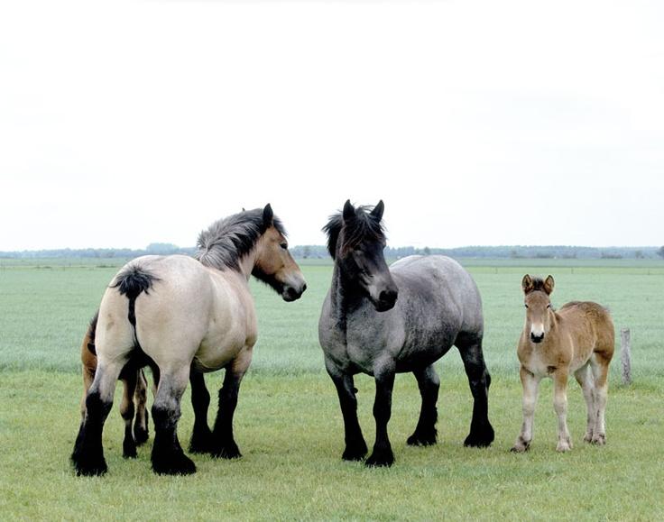 Belgisch_trekpaard  Look at that lovely pale color!