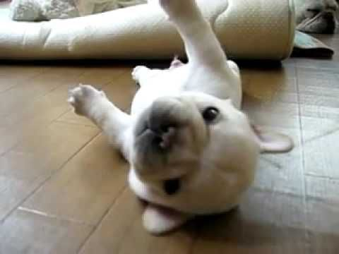 I can't not laugh when I watch this... mostly because Lily STILL does this.  What is it with Frenchies getting stuck on their back?  Adorable.
