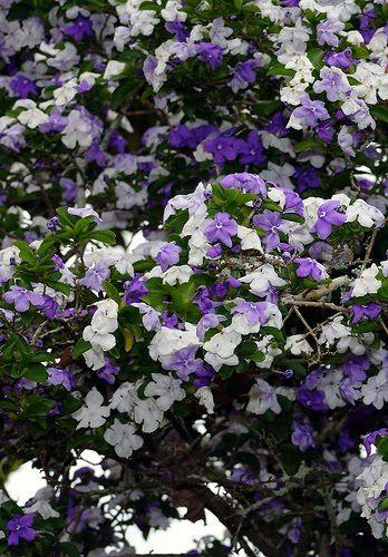 manaca-de-cheiro Brunfelsia Uniflora