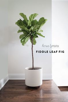 Fiddle leaf fig - I'm going to place one in the living room area, by the window.