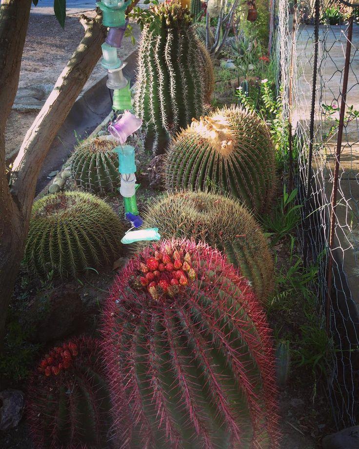 Some incredible gardens in Porterville  #cactus #garden #country #instadaily