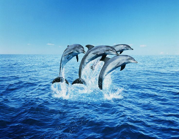 Bottle-nose Dolphins (tursiops Truncatus) Breaching Photograph by Steve Bloom