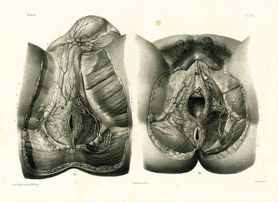 1836 Muscles Nerfs Bassin Périnée Homme Pelvis de la Femme