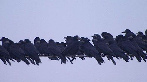 Also pretty cool? A group of crows is called a murder. That's right. A MURDER. That right there? That's a MURDER ON A HIGH WIRE.   19 Reasons Why The Crow Should Be Your New Favorite Animal