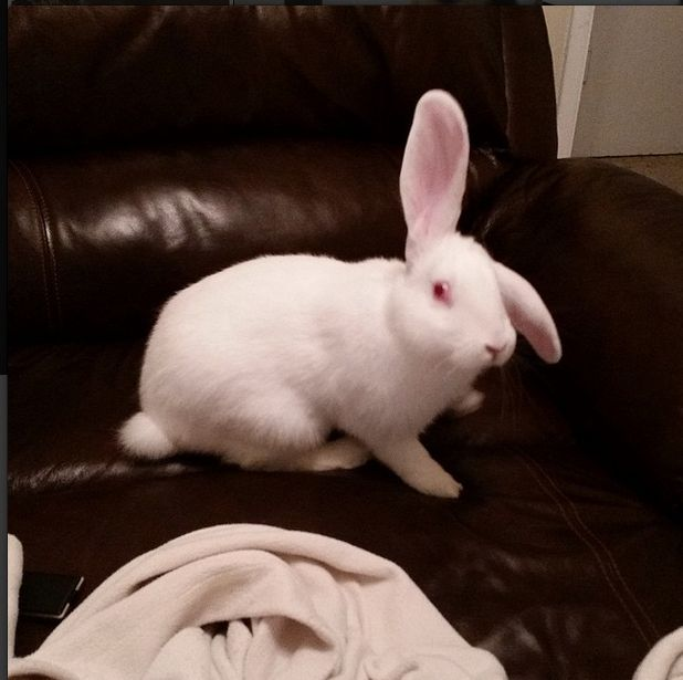 Snow White is a 6 month old female Flemish cross. She may be big, but she is a shy sweetheart. She loves to run and get exercise, then stretch out and lounge. She is a great blanket bunny, and gets along well with other rabbits.  available for adoption now on our website! #iwarsadoptables #infiniteWOOFS #yegrescue #adoptdontshop #yeg #edmonton #780