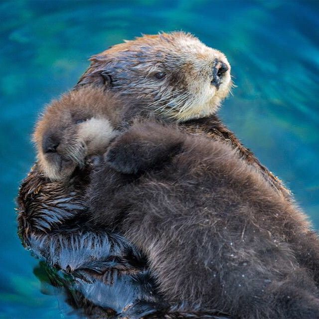 Sea Otter Babies Sleep On Their Mother #EarthPix Photography by Tyson Rininger