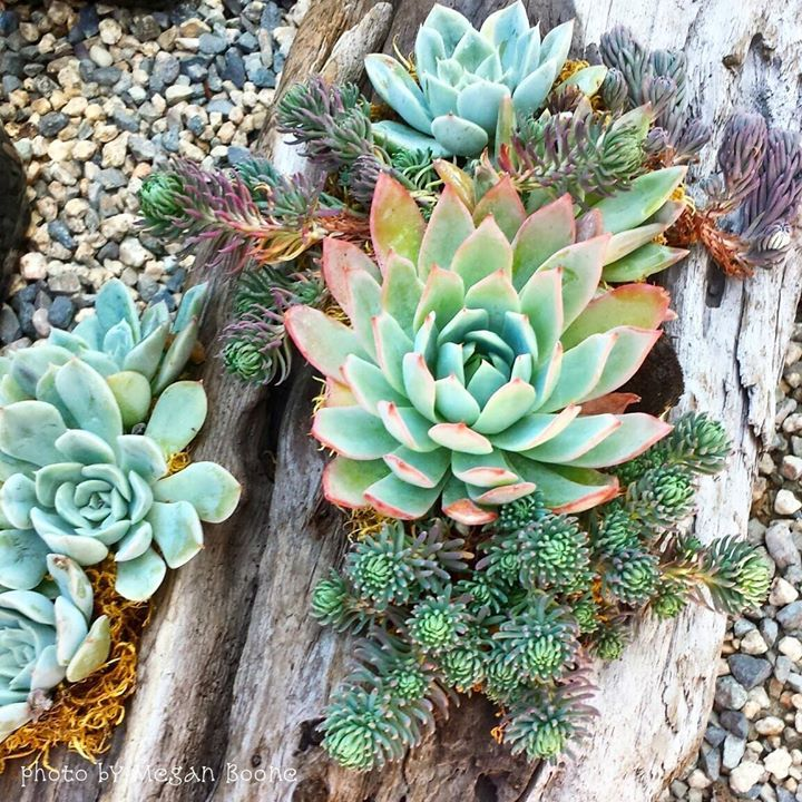 13 Best Images About Succulents In Driftwood On Pinterest
