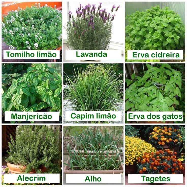 Plantas que os mosquitos odeiam. Em tempos de chuvas e calor é importante saber.