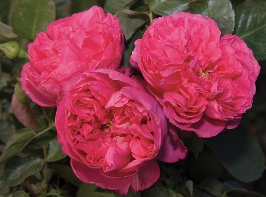 rose Pink Traviata - Tìm với Google