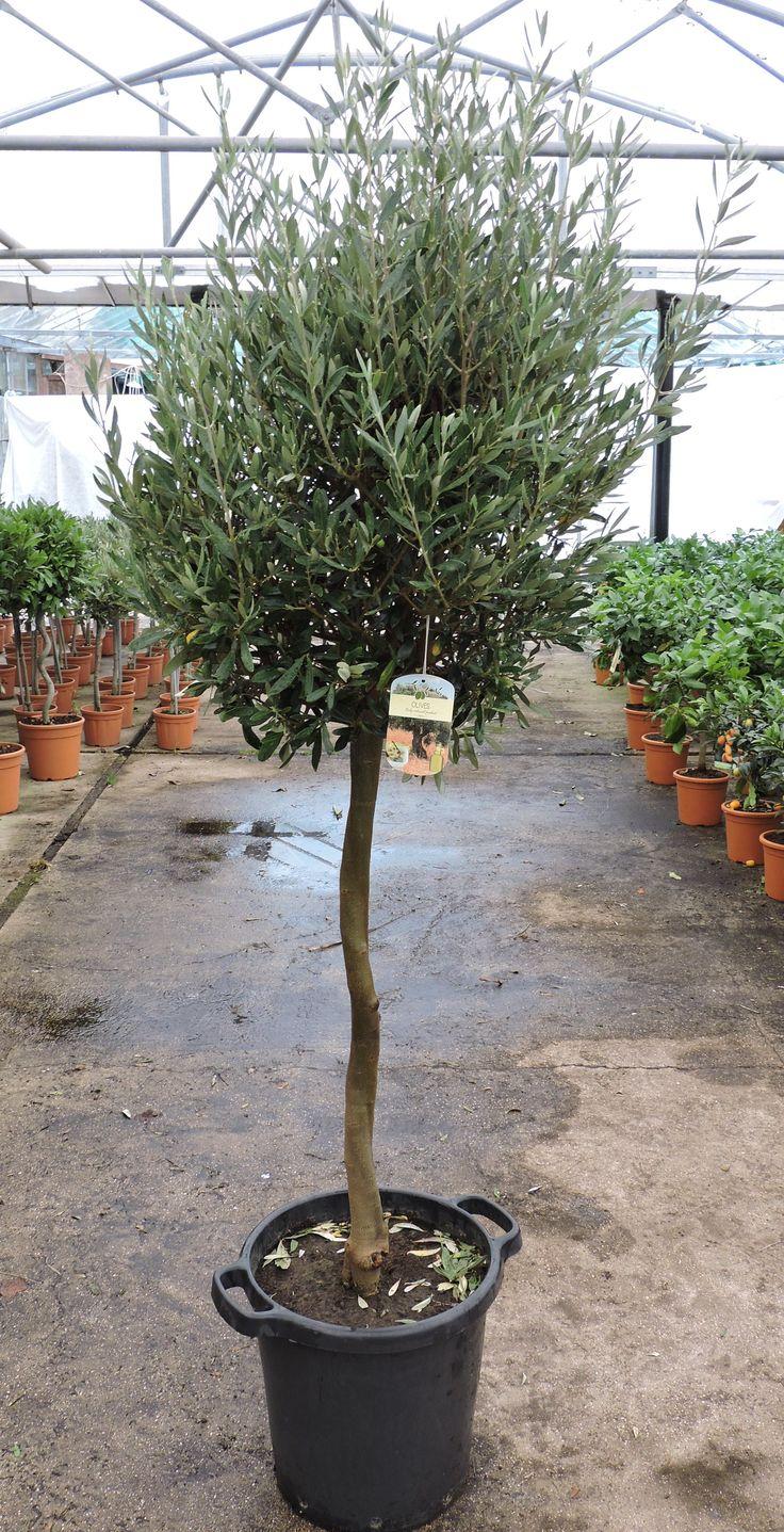 Olive Standard 170cm+ height, 35ltr pot