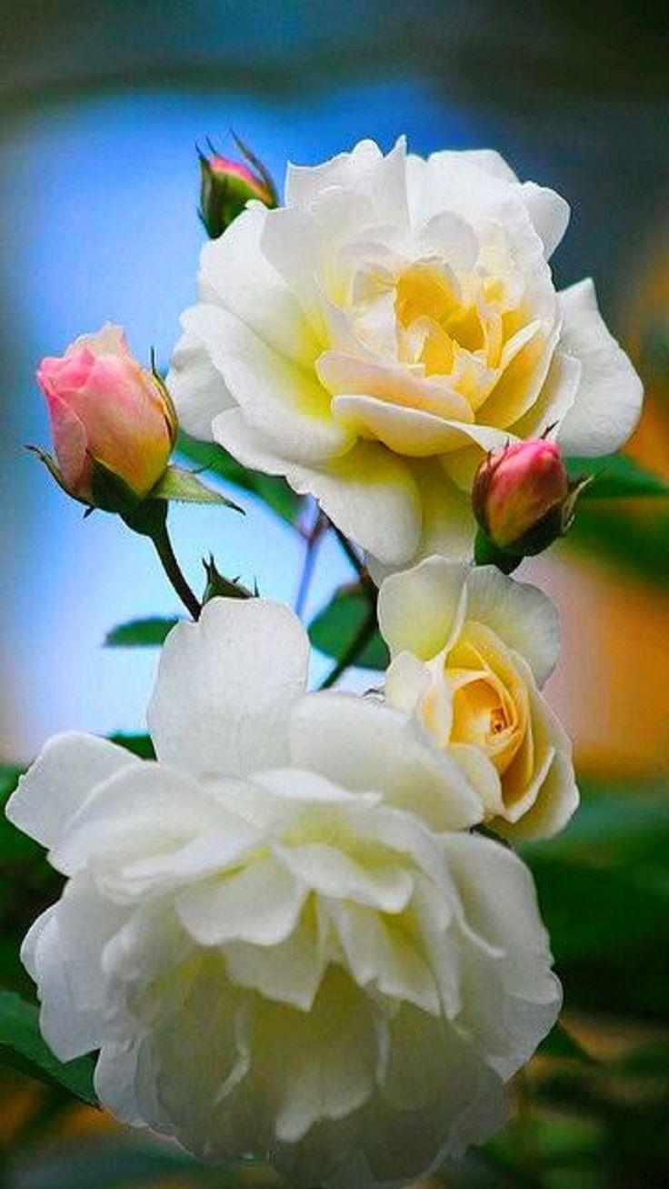 best fragrant flowers images on pinterest beautiful flowers