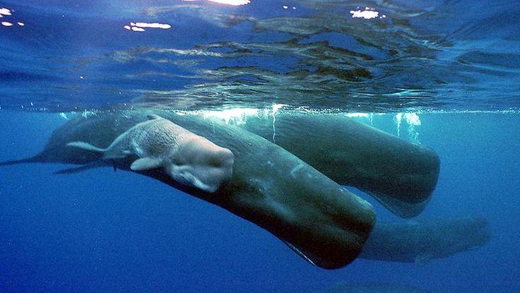 Wale gehören zudem zu den Tieren auf der Welt, die über 200 Jahre alt werden können, ... (im Bild: Pottwaljunges neben seiner Mutter)