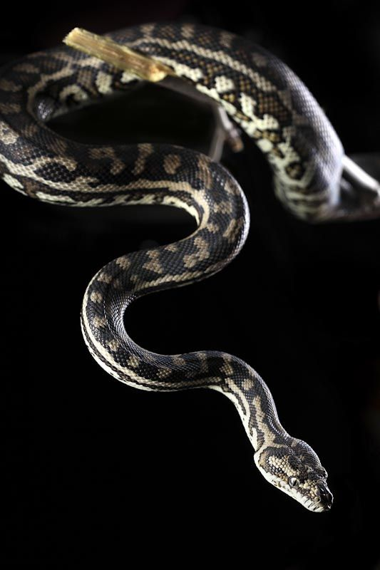 Photograph of a Carpet Python at Archer Imagery - Pet photography Western…