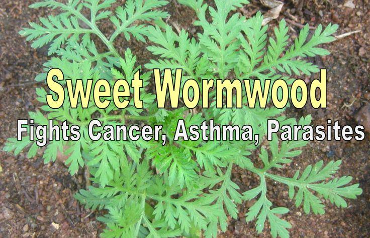 Artemisia annua: Sweet Wormwood Benefits | Healthy Food Style