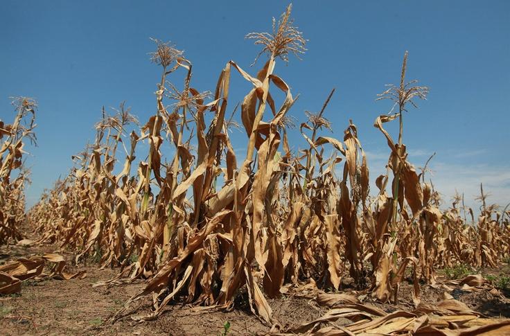 Extremwetter: Soja und Mais knistern in der Hitze | Wissen | ZEIT ONLINE