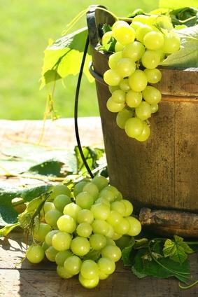 Vitigni: chardonnay 80% #harvest #chardonnay