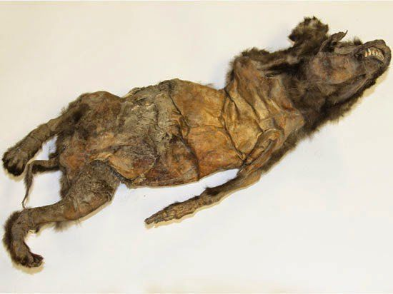 This is the oldest mummified dog in the world. A female, it is 12,500 years old and was preserved in the permafrost of Yakutia.