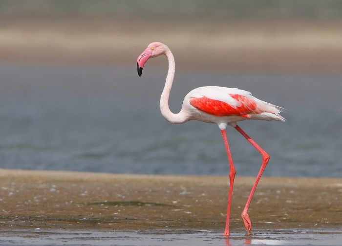 Greater Flamingo: Habitat, Diet & Other Facts