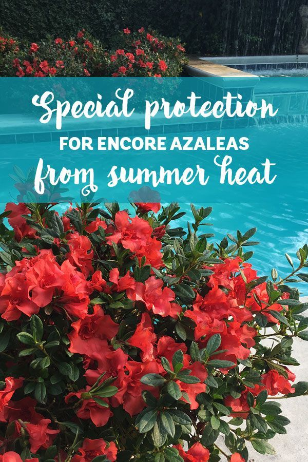 Do My Encore Azaleas Need Special Protection From The Summer Heat How To Guide For Encore Azalea Pruning Azaleas Summer Heat Landscaping Plants