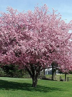 Ornamental Cherry Tree Zone 3 Google Search Ornamental Cherry Tree Flowering Trees