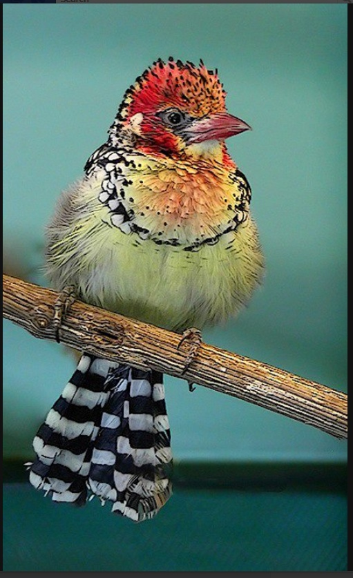 Barbet: Little Birds, God Is, Yellow Barbet, Pretty Birds, Colors Birds, Beautiful Birds, Feathers Friends, Mothers Natural, Animal