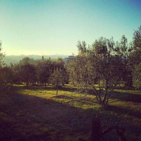 Florence...colline..ulivi