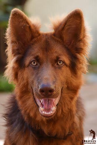 Liver-colored German Shepherd