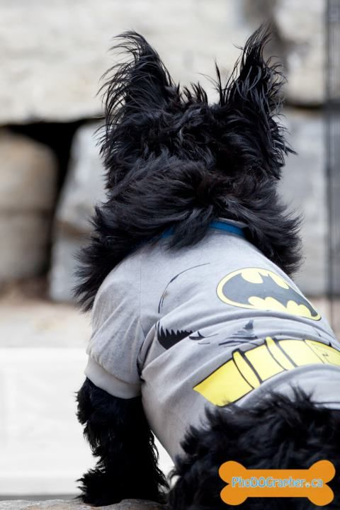 Fergus the Scottish Terrier Super Hero
