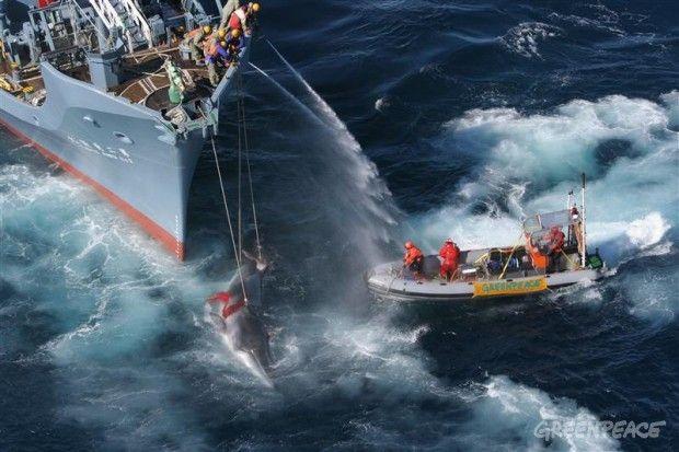 El barco de Greenpeace Esperanza y sus gomones tratan de obstaculizar el asesinato y el eventual traspaso de una ballena Minke por el buque receptor Yushin Maru N º 2 en 2005.  © © Greenpeace / Kate Davison