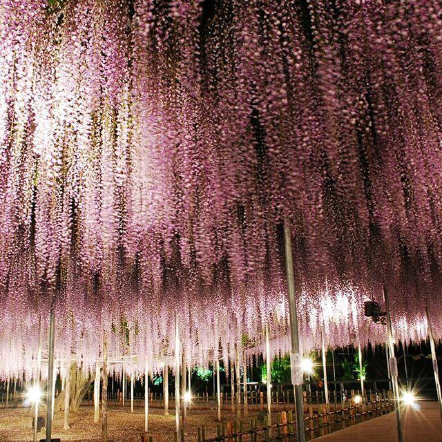 Ashikaga Flower Park In Tochigi Prefecture Is Beautiful Year Round But Especially During Wisteria Season In Mid April Wisteria Tunnel Wisteria Wisteria Tree