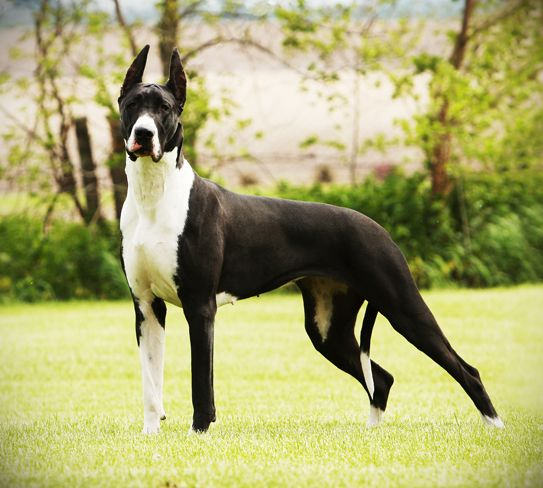 Mantle Great Dane, my second choice, so awesome looking!