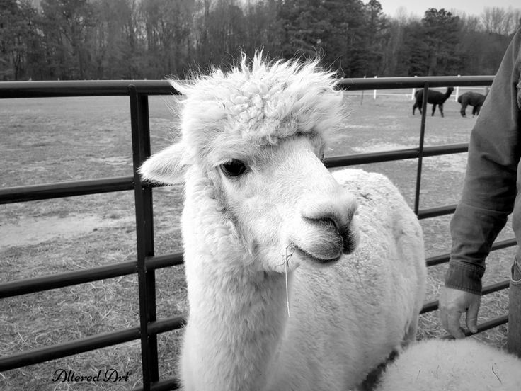 adorable mommy alpaca at a local farm | Outstanding Dreams Farm in Caroline County, MD