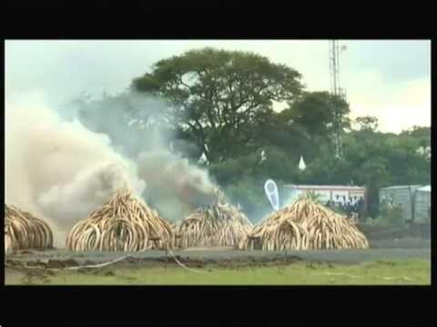 Il Kenya brucia la più grande riserva di avorio del mondo per dire no al bracconaggio (VIDEO)