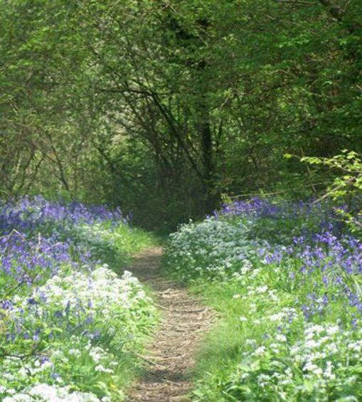 May: Bluebell Day is held on the early May bank holiday in Holyford Woods, near Seaton | South Devon | England
