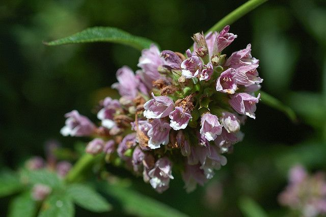 Balm of Gilead (Cedronella canariensis). Symbolizes relief, healing, sympathy. Photo by Eric Hunt.