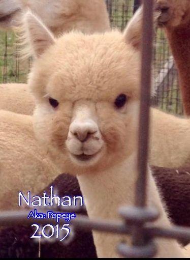Alpacas For Sale: QCAR Nathan: Huacaya, Male, Unproven: Pennsylvania, Littlestown