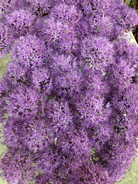 Allium 'Gladiator'...Sold in bunches of 10 stems from the Flowermonger the wholesale floral home delivery service.