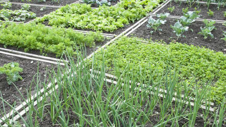 Смешанные посадки. Какие овощи можно сеять рядом? | Растения | ШколаЖизни.ру