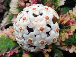 Flor De Cera - Hoya Carnosa - Adultas (mudas) R$25,00
