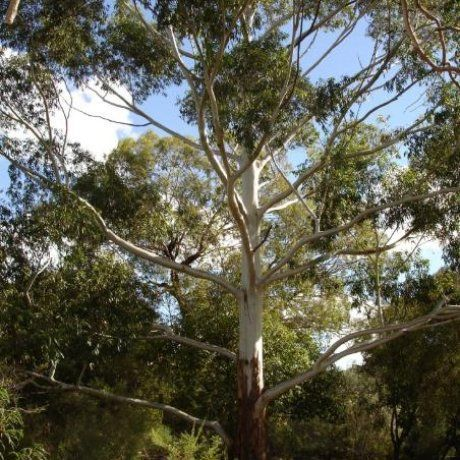 Eucalyptus grandis - Flooded Gum | Southern Woods
