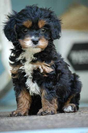 Cavapoo Pup - black and tan, the cutest! This would make a cute buddy for Emmett lol!