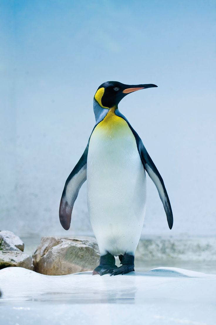 Les 7 pinguin dieren pinguin pinterest search and dieren - Afbeelding in ...
