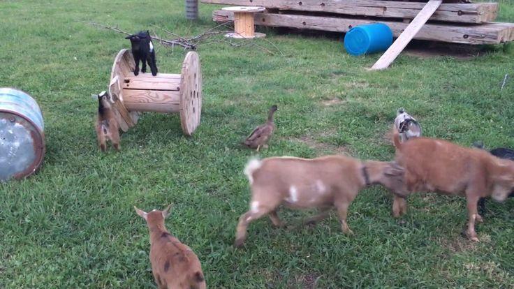 Goat Playground! Baby Goats Running, Jumping, Climbing! - YouTube