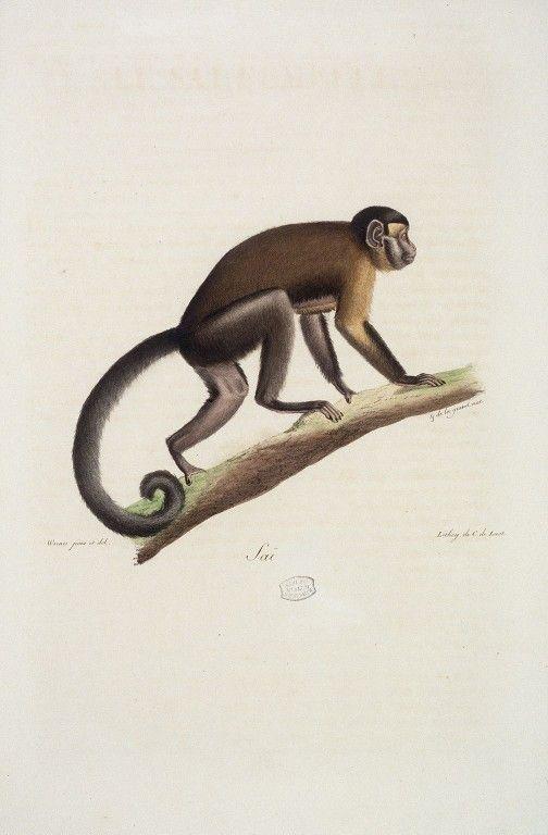 Plus de 25 id es magnifiques dans la cat gorie singe - Singe a dessiner ...